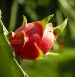 Drakefrukt i trädgård Arkivfoton