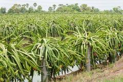 Drakefrukt på växten i drakefruktodling på Nakhon Pathom, Tha Royaltyfri Bild