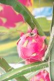Drakefrukt, Pitaya på träd Fotografering för Bildbyråer