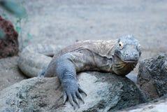 drakekomodo Arkivfoto