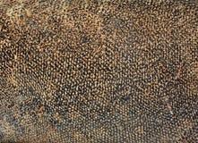 drakekomodo Arkivbild