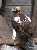 Draken är en stor fågel av rovet arkivfoton