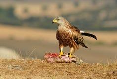 Draken poserar med mat i fältet Royaltyfria Foton