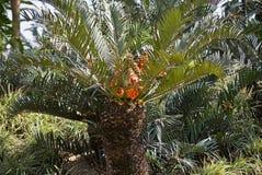 Drakensberg Cycad mit Frucht Stockbilder