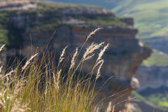 Drakensberg grasses Royalty Free Stock Image