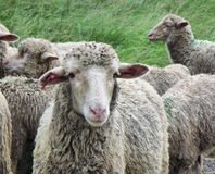 Drakensberg sheep Royalty Free Stock Photo