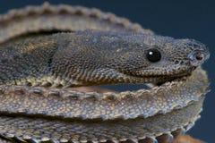 Drakeorm/Xenodermus javanicus Arkivbild