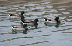 Drakes del pato silvestre Fotografía de archivo libre de regalías