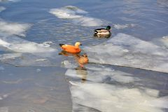 Drakes and ducks swim in the spring river, sit and walk on the ice floes on a bright day stock images
