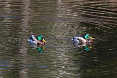 Drakes of ordinary Mallard ducks swimming in a pond Stock Photography