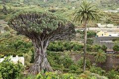 draketenerife tree royaltyfria foton