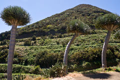 Draketräd på ön av La Palma Arkivbild