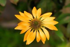 Dramático sobre a saturação de cor superior de um echinacea amarelo de florescência floresce imagens de stock royalty free