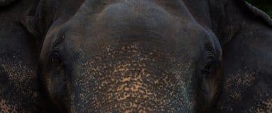 Drama del retrato de la cara del elefante Imagen de archivo libre de regalías