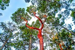 Free Dramatic Arbutus Tree In The Gulf Islands Off The Shores Of Vancouver Island Royalty Free Stock Photography - 162020457