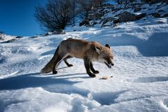 Dramatic Arctic Fox Eating Food royalty free stock images