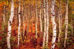 Free Dramatic Autumn Aspens Scene In The Wasatch Back, Utah USA. Royalty Free Stock Photo - 127916645