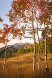 Dramatic autumn golden sunrise aspens glowing in the Wasatch Back, Utah USA. Royalty Free Stock Photography