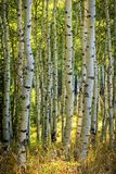 Dramatic autumn green sunrise aspens glowing in the Wasatch Back, Utah USA. Royalty Free Stock Photos