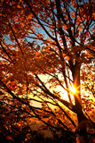 Dramatic Autumn sun peaks through burnt orange colored maple tre Stock Images