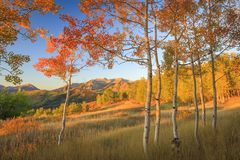 Dramatic autumn sunrise aspens glowing in the Wasatch Back, Utah USA. Stock Photos