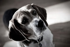 Dramatic Beagle Dog Portrait Stock Image