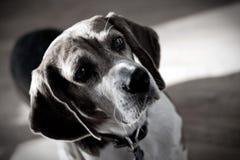 Dramatic Beagle Dog Portrait Stock Image