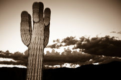 Dramatic Cactus Sunset. Dramatic view of a Saguaro Cactus at sunset in Sepia Tone Stock Image