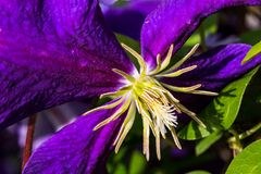 Purple Clematis in the Sunshine. Dramatic close-up shot of a Jackmanii Superba hybrid Clematis Stock Photography