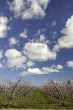 Dramatic clouds of a blooming peach orchard. Long row of blooming trees in a peach orchard Idaho Stock Images