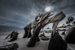 Dramatic Clouds Cypress Tree roots Carabelle Beach Florida Royalty Free Stock Photography