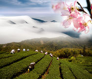 Dramatic clouds and tea garden Stock Photo