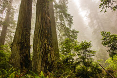 Dramatic Coastal Redwood Trees in Mist Stock Photography