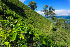 Dramatic Coffee Landscape. Coffee plant covered hills rising above a valley near Manizales, Colombia Stock Photo