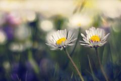 Dramatic daisy scene. Picture of couple daisies shoot in grass in a dramatic scene royalty free stock photos