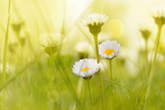 Dramatic daisy scene. Picture of couple daisies shoot in grass in a dramatic scene royalty free stock images
