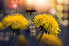 Dramatic dandelion with bee Stock Images