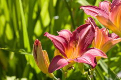 Dramatic daylily Stock Images