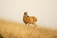 Dramatic Deer on a Hill full of fields. Deer poses and dramatically looks into the fields Stock Images