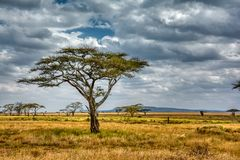 Acacia tree with dramatic cloudy skies in the Serengeti Tanzania stock images