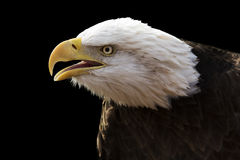 Dramatic eagle Royalty Free Stock Images