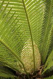 Dramatic foliage and cone of a cycad in south Florida. Royalty Free Stock Photo