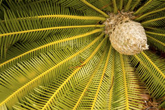 Dramatic foliage and cone of a cycad in south Florida. Stock Images