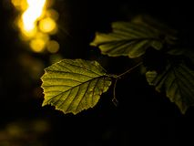 Dramatic golden hour light illuminating young summer leaves stock images