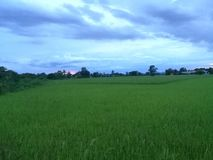 Dramatic green field of rice and beautiful sky stock photography