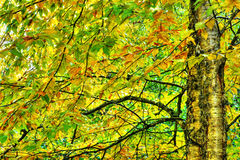 Dramatic hdr of yellow birch during fall. Dramatic hdr rendering, painting like, of two yellow birch with their colorful leaves during the fall or autum season Stock Photos