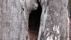 Dramatic Hollow Old Lonely Tree.. 4K UltraHD, UHD. Dramatic  Hollow Old Lonely Tree.. 4K UltraHD, UHD stock footage