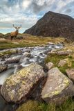 Dramatic landscape image of red deer stag by river flowing down. Landscape image of red deer stag by river flowing down mountain range in Autumn stock photo