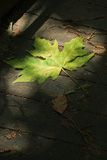Dramatic Lighting Green Leaf royalty free stock photo
