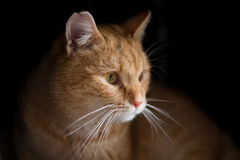 Dramatic looking portrait of ginger cat Stock Photography